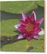 Red Water Lily Wood Print