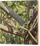 Red Wattlebird Australia Wood Print