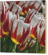 Red White And Yellow Tulips Wood Print