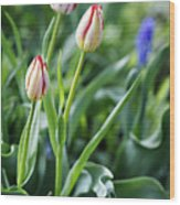 Red White Tulips Wood Print