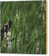 Red-winged Blackbird Calling Wood Print