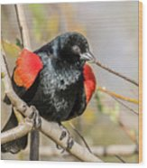 Red-winged Blackbird Foraging Wood Print
