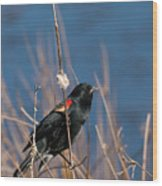 Red-winged Blackbird On Cattail  Wood Print