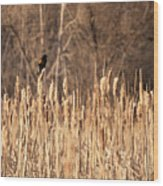 Red Winged Blackbird On Cattails Wood Print
