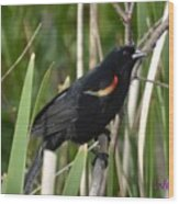 Red-winged Blackbird Wood Print