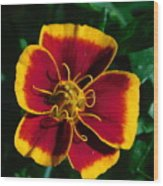 Red/yellow Flower 4-24-16 Wood Print