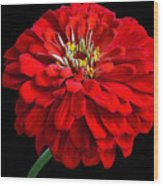 Red Zinnia Wood Print