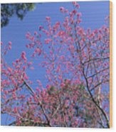 Redbud In Bloom Wood Print