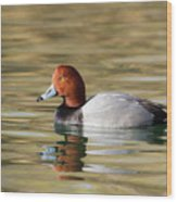 Redhead On Sunny Pond Wood Print