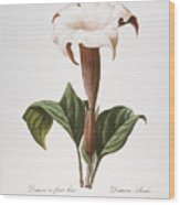 Redoute: Datura, 1833 Wood Print by Granger
