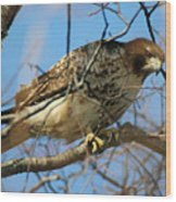 Redtail Among Branches Wood Print