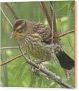 Redwing Blackbird - Immature Wood Print