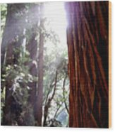 Redwood Sunlight Wood Print