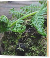 Redwood Tree Forest Fern Art Prints Ferns Giclee Baslee Trouman Wood Print