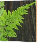 Redwood Tree Forest Ferns Art Prints Giclee Baslee Troutman Wood Print