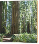 Redwood Trees Forest California Redwoods Baslee Wood Print