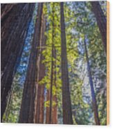 Redwoods Of Muir Woods Wood Print