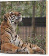 Regal Tiger Wood Print