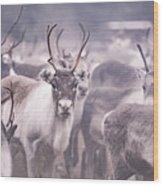Reindeers Wood Print