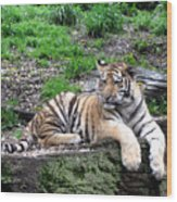 Relaxed Tiger Cub Wood Print