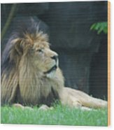 Relaxing Lion With A Thick Black Fur Mane Wood Print
