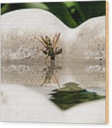 Reflected Little Stinger Taking A Sip By Chris White Wood Print