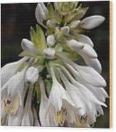 Renaissance Lily Wood Print