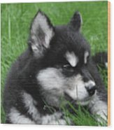 Resting Alusky Puppy Laying In Green Grass Wood Print