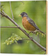 Resting American Robin Wood Print