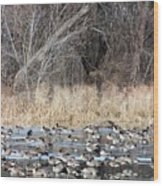 Resting Canadian Geese Wood Print
