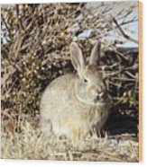 Resting Cottontail Wood Print