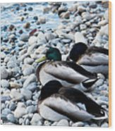 Resting Ducks Wood Print