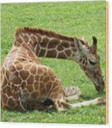 Resting Giraffe Wood Print