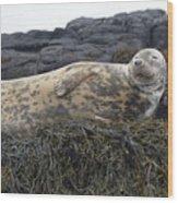 Resting Gray Seal On Seaweed Wood Print