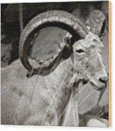 Resting Ram Wood Print