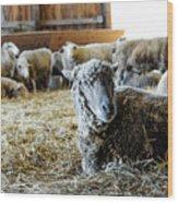 Resting Sheep Wood Print