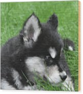 Resting Two Month Old Alusky Puppy Dog In Grass Wood Print