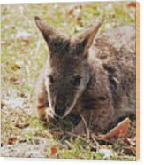 Resting Wallaby Wood Print