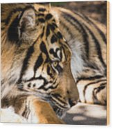 Resting Yet Watchful Tiger Wood Print