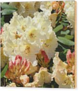 Rhodies Creamy Yellow Orange 3 Rhododendrums Gardens Art Baslee Troutman Wood Print