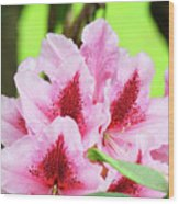 Rhododendron Floral Art Prints Rhodies Flowers Canvas Baslee Troutman Wood Print