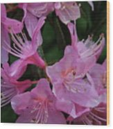 Rhododendron In The Pink Wood Print