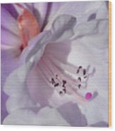 Rhododendron In White And Magenta Wood Print