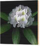 Rhody Queen - White Wood Print