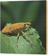 Rhubarb Weevil Wood Print
