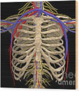 Rib Cage With Nerves, Arteries Wood Print