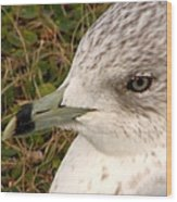 Ring Billed Gull Profile Wood Print
