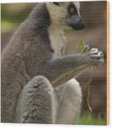 Ring-tailed Lemur Holding A Clump Of Grass Wood Print