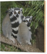 Ring-tailed Lemurs Wood Print