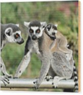 Ring Tailed Lemurs With Baby Wood Print